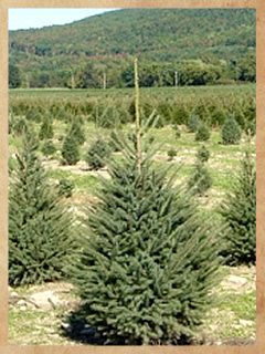 black_hills_spruce