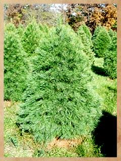 white_pine